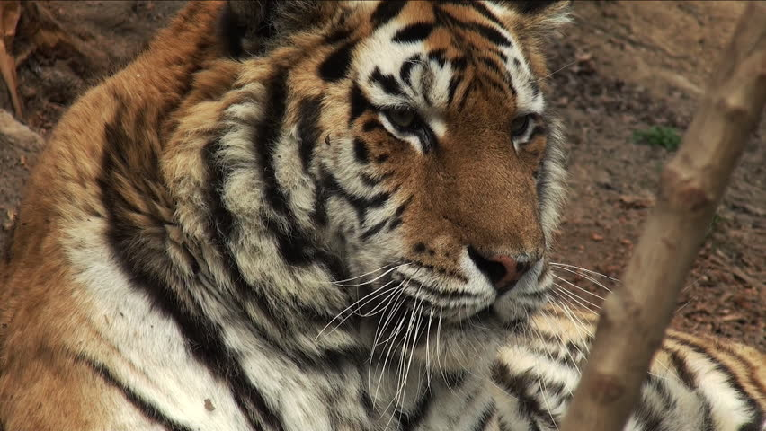 Siberian Tiger Prowling Stock Footage Video 221989 ...