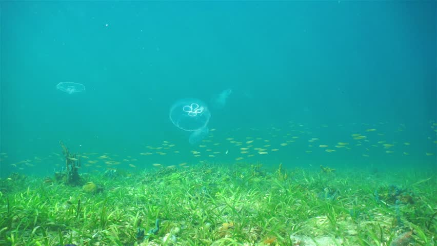 Underwater scene, moon jellyfish Aurelia aurita over the seabed with school of juvenile fish swimming, Caribbean sea, Panama - HD stock footage clip