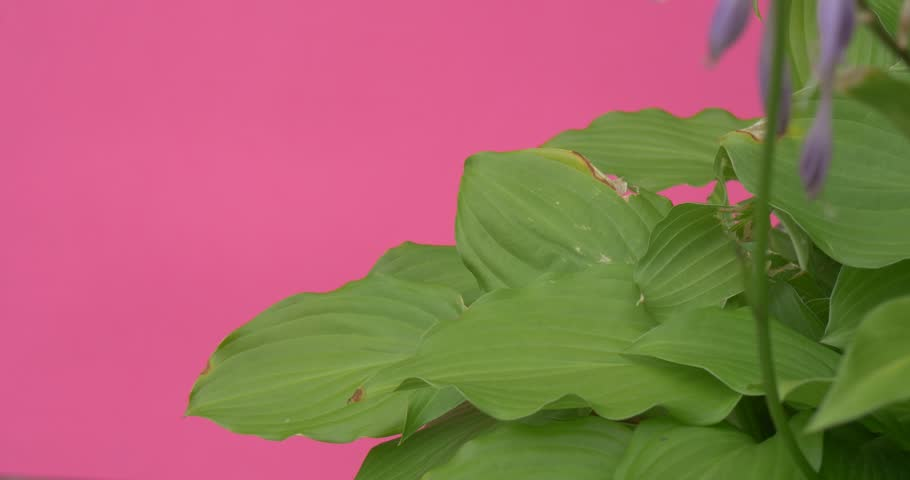 Hosta, Hostas, Plantain Lilies, Plant With Big Leaves, Flowers-Bells, blue, part of bush, plant is swaying, leaves are fluttering, pink background, chromakey, Chroma Key, Alfa, summer, outdoors, #13488968