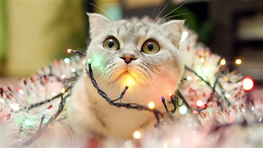 Scottish fold cat with christmas garland and tinsel 1