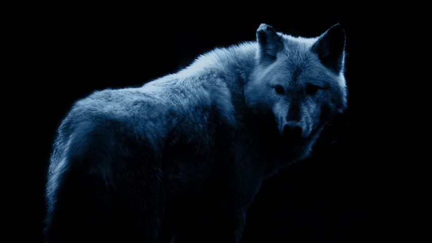 Wolf In Dramatic Lighting On Black Background | Shutterstock HD Video #13751615
