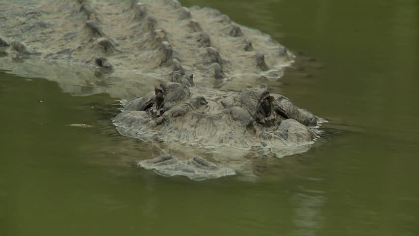 Alligator Detail Shot - HD stock footage clip