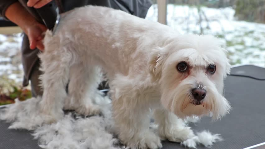 Pictures Of Maltese Dogs Groomed