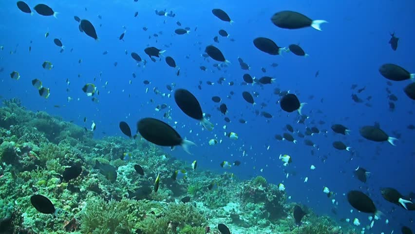 Swarm of hawaiian damselfish and milletseed butterfly fish for Plenty of fish hawaii
