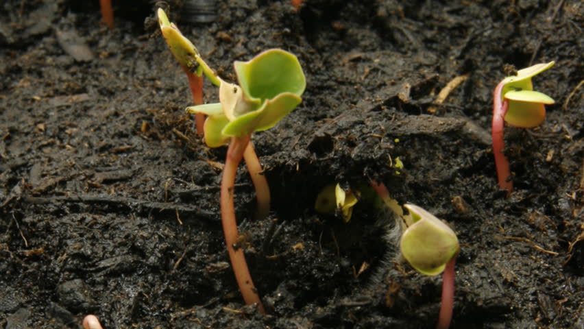 timelapse of radish seeds, part II of II