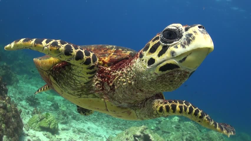 Hawksbill Sea Turtle is swimming and chases the camera probably seeing it's mirror image. | Shutterstock HD Video #13945376