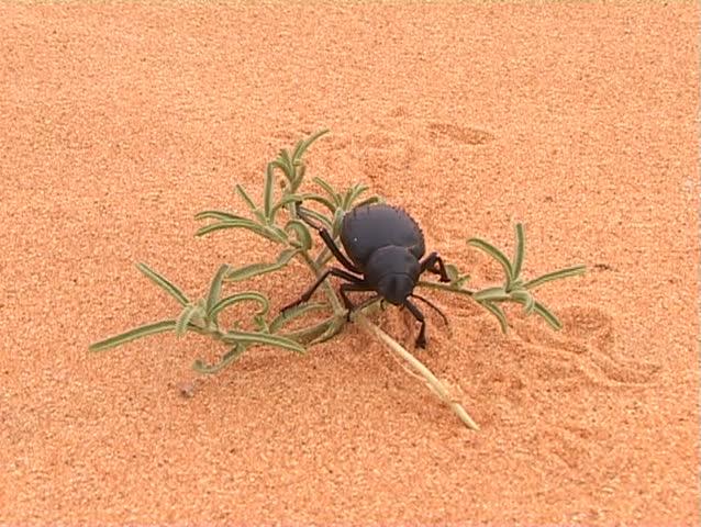 Black beetle on desert flower