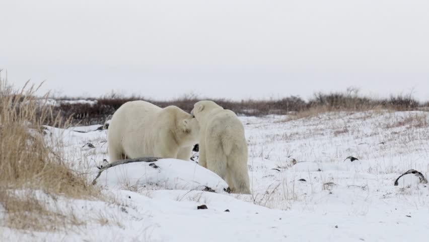 Polar bears courtship  Beautiful shot of 2 Polar bears playing