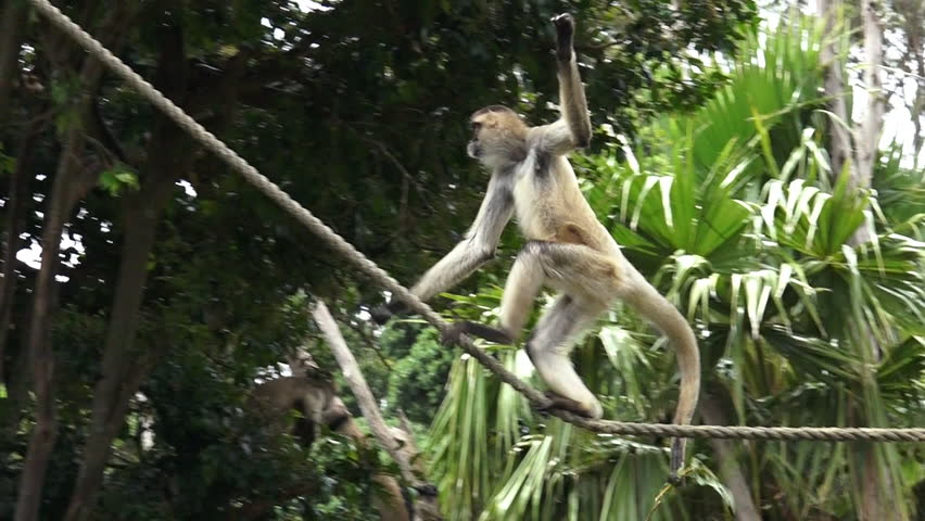 Spider Monkeys Playing
