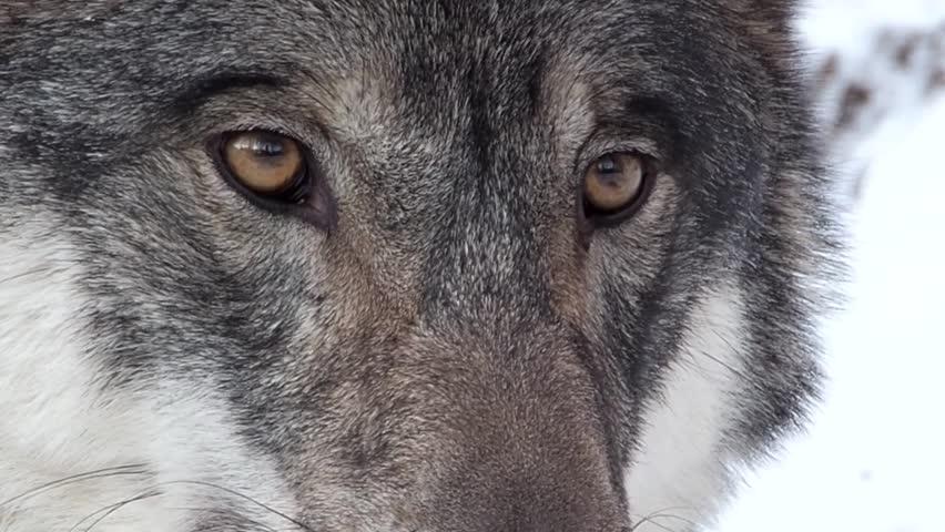 Picture black coyote