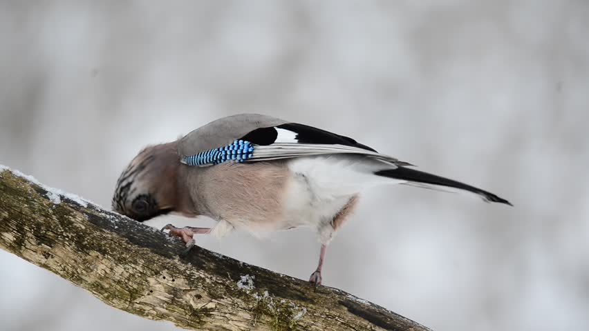Jay sitting on a branch - HD stock video clip