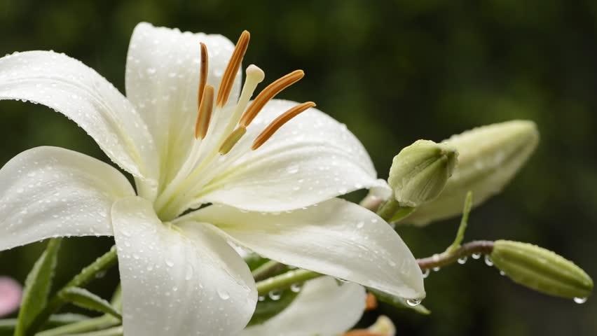 white asian flower