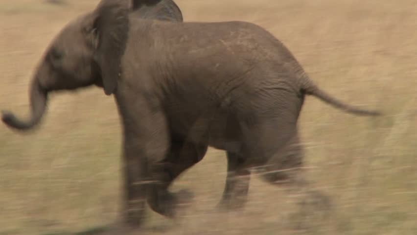 A baby elephant running.