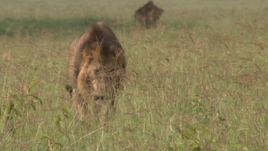 Lion walking through grass. - HD stock video clip