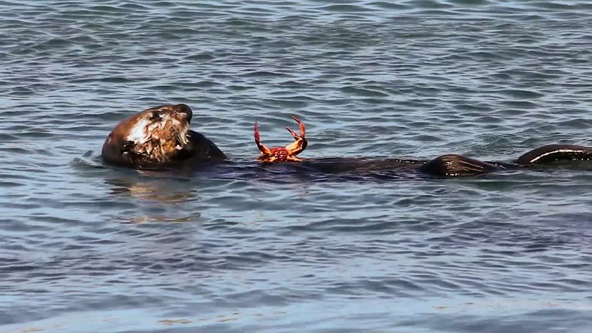 The Endangered Sea Otter (Enhydra lutris nereis) Eats a Crab in California - HD stock footage clip