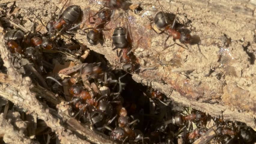 Closeup of ants working at a anthill - HD stock video clip