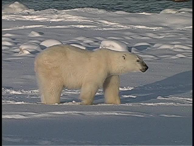 A medium shot of a polar bear sitting in the snow near Churchill, Alaska.