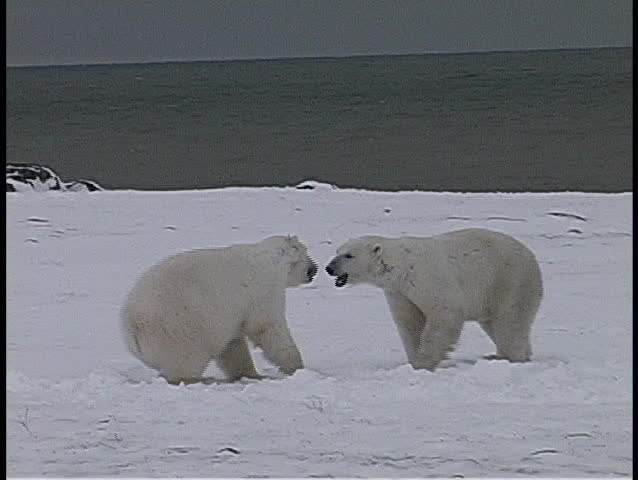 polar bears have a friendly tussle in Churchill, Alaska.
