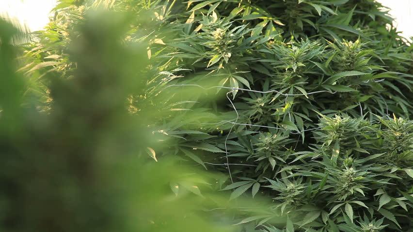 Marijuana Refocus