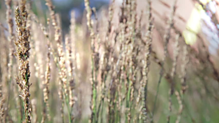 Grasses swaying in wind on a summers day. - HD stock video clip
