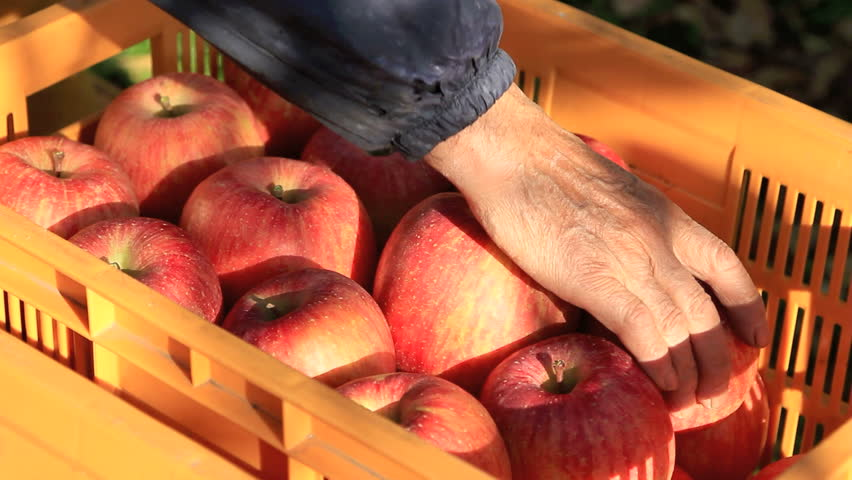 Farmer puts the apple crop in the box.