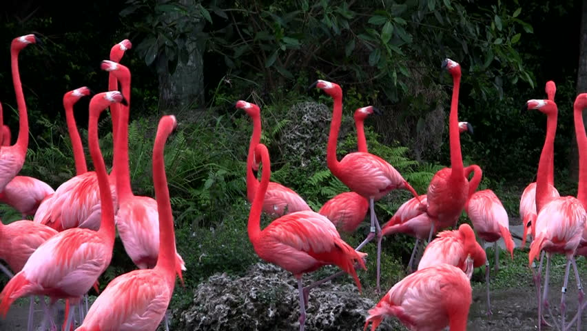 pink flamingos doing group yoga - HD stock video clip