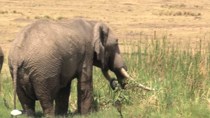 Elephant Eating Grass Elephant Eating Grass in