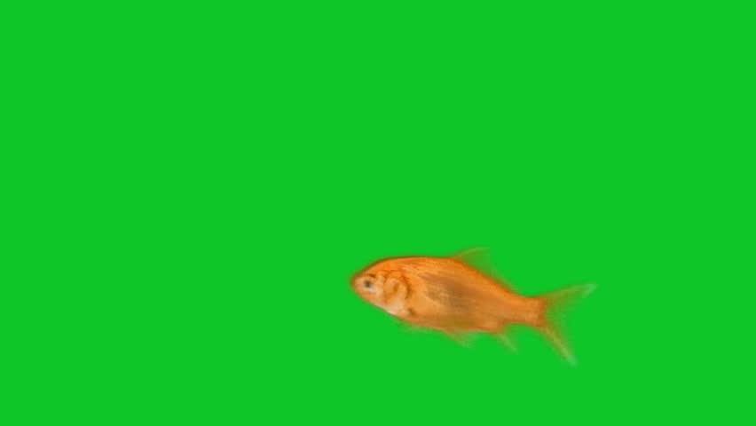 orange fish swimming in front of green screen stock