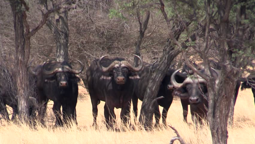 Header of African buffalo
