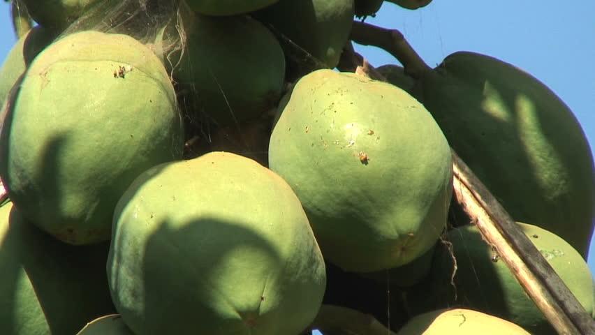 CU of green papayas on tree - HD stock video clip