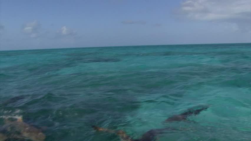 Lemon sharks feeding at surface - HD stock video clip