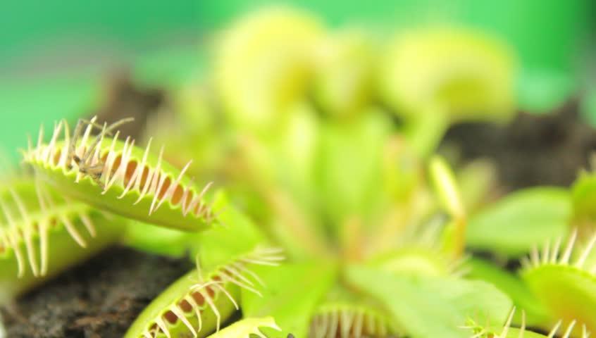 Venus flytrap ( Dionaea muscipula ), carnivorous plant - HD stock footage clip