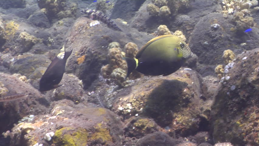 Header of Acanthurus maculiceps