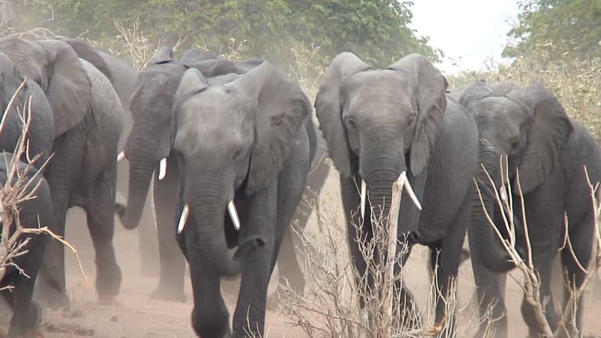 Elephants move through the bush kicking up dust in Botswana, Africa.