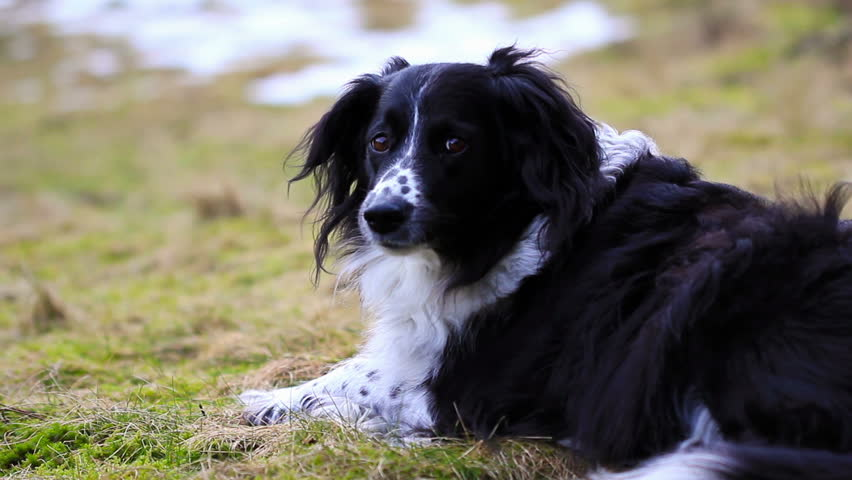 73 border collie hd - photo #37