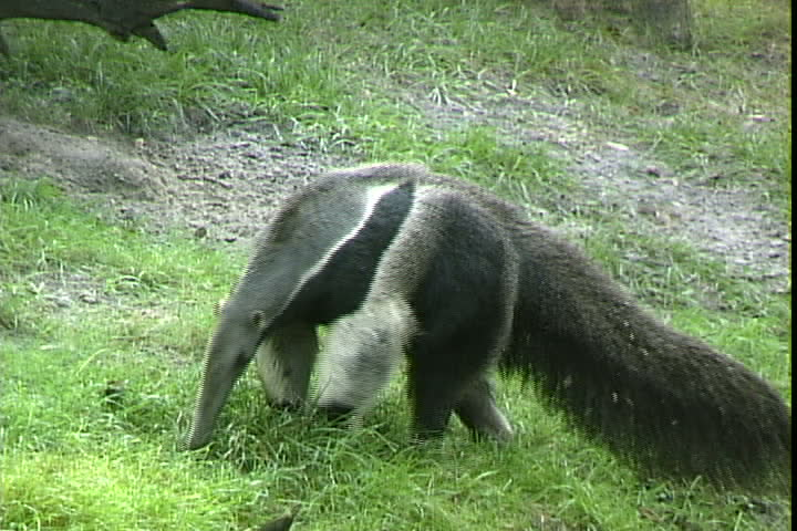 Anteater definition/meaning