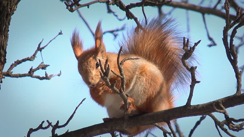Cute squirrel sitting on branch and washing up, HD - HD stock footage clip