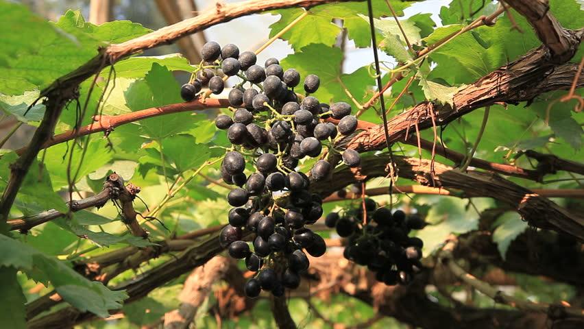 grapes - HD stock video clip