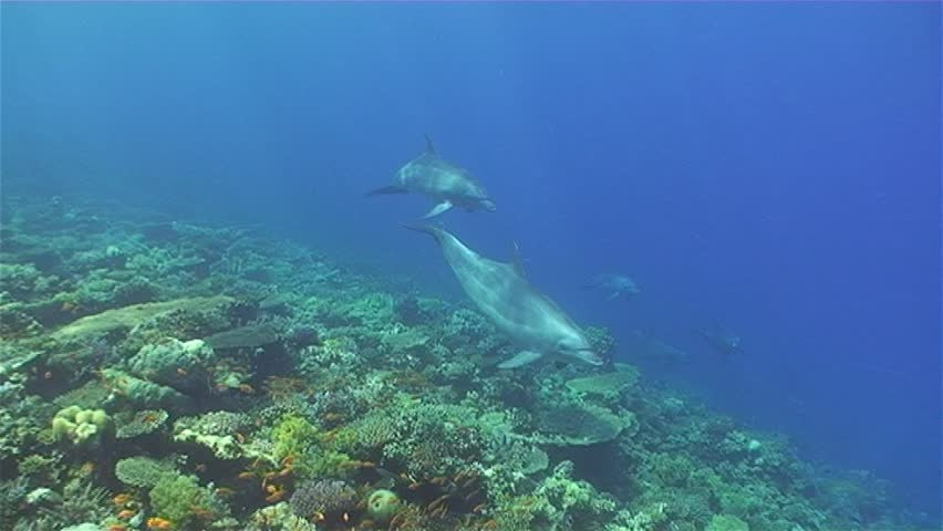 Bottle nose Dolphins at the Ulysses wreck