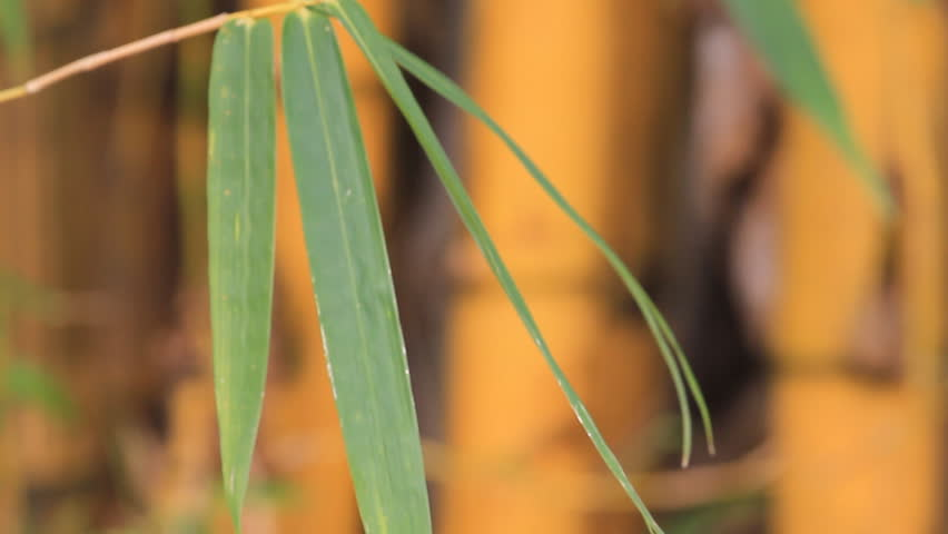Bamboo  - HD stock footage clip