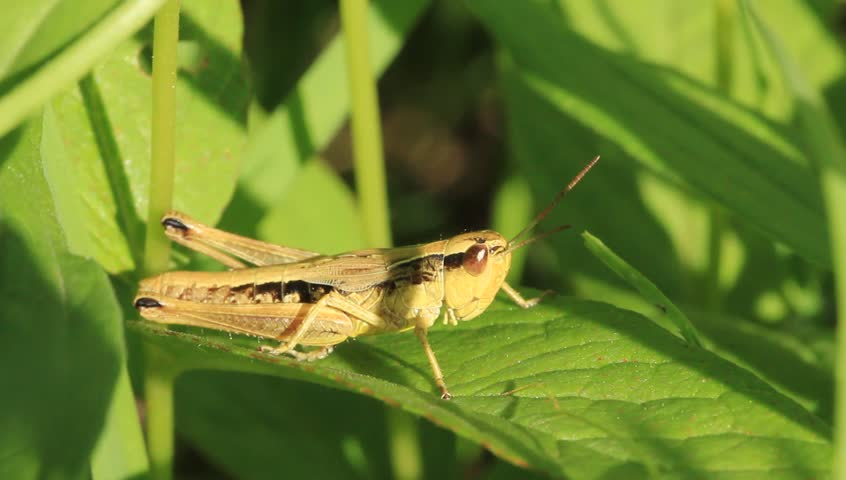 A grasshopper on a leaf. The grasshopper is an insect of the suborder Caelifera in the order Orthoptera. | Shutterstock HD Video #2107046