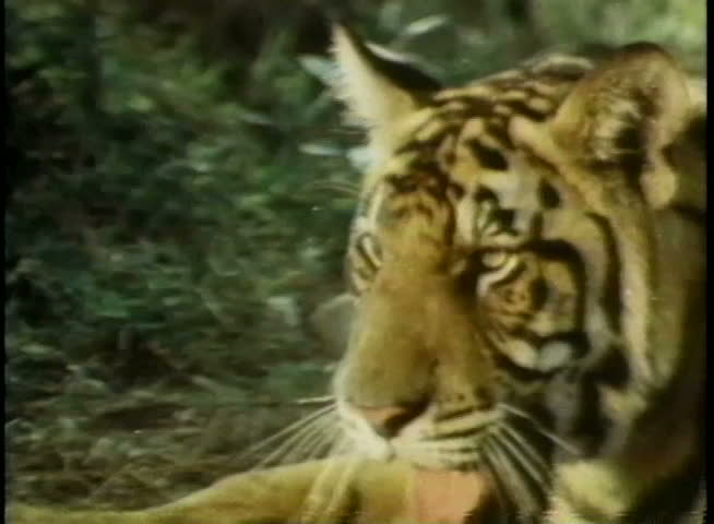 Animal Attack Stock Footage Video