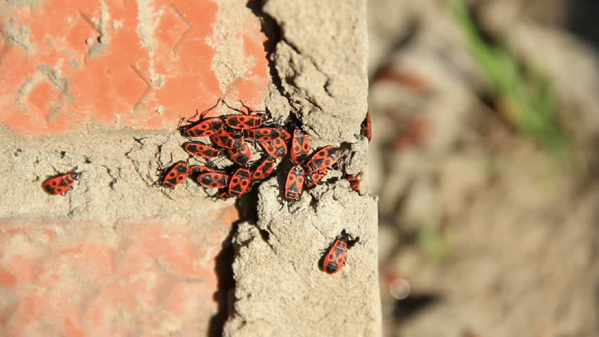 Red cockroaches on the red brick wall