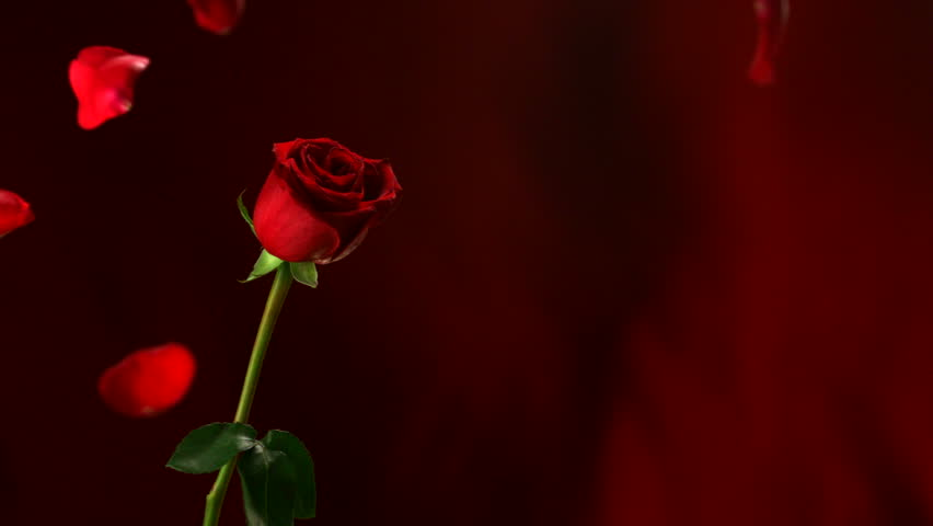 Petals fall around single rose stock footage video 2123054 for Individual rose petals