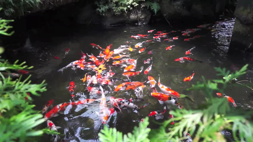 Various color japanese koi carp swimming in fresh flowing for Koi pond hd