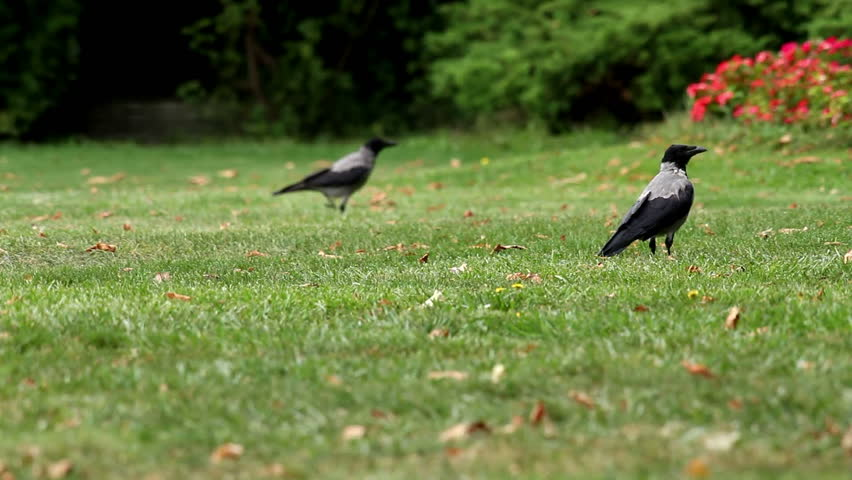 Hooded crows in the park - HD stock video clip