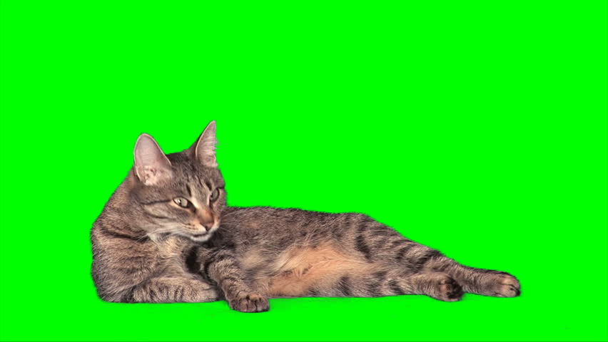 Grey stripy cat having fun and washes itself on green screen - HD stock footage clip