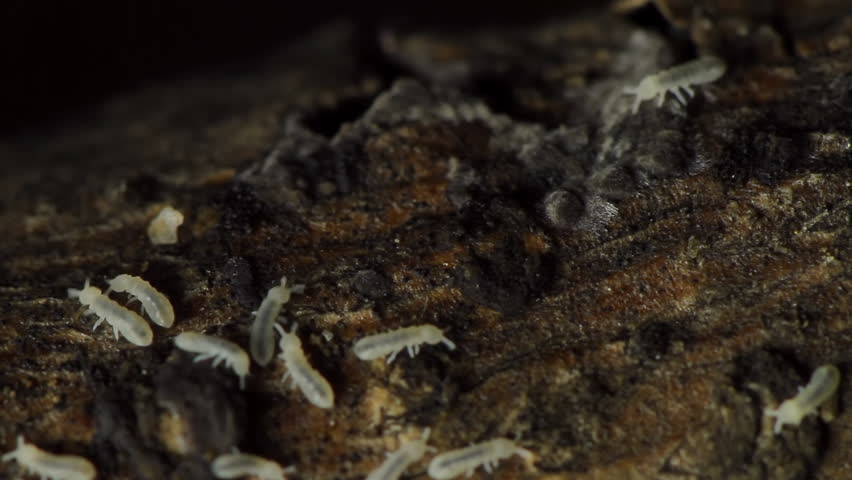Wood Termites Tree Bark (HD). Wood termites feeding and walking on a tree branch at a dark setting. The magnification is 25x and they still look small. A grain of rice is 4 times their size. - HD stock video clip