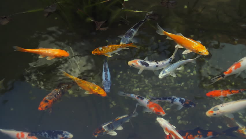 Lots of orange koi fish are swimming in a pond stock for Orange koi carp