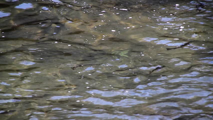 Fish swimming in river stock footage video 2161838 for Fish swimming video